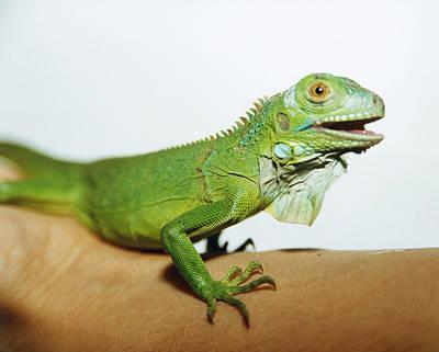 Pet Iguana Print by Cristina Pedrazzini