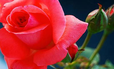 Rose Photograph - Petal Soft by JAMART Photography