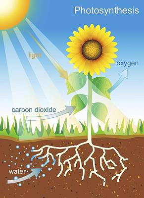 Photosynthesis, Illustration Print by David Nicholls