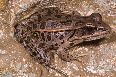 Pickerel Photograph - Pickerel Frog by Dante Fenolio