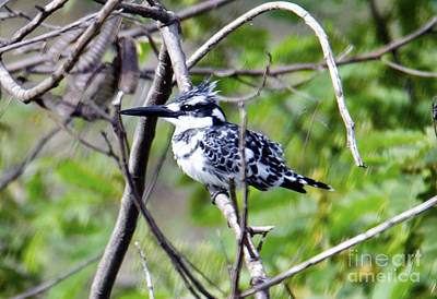 Kingfisher Digital Art - Pied Kingfisher by Pravine Chester