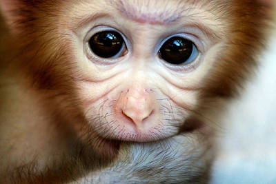Pig Tailed Monkey Print by Floridapfe from S.Korea Kim in cherl