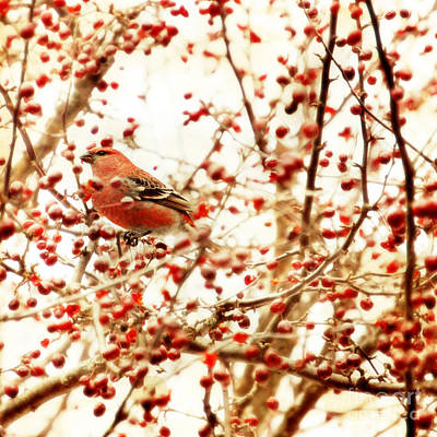Winter Trees Photograph - Pine Grosbeak by HD Connelly