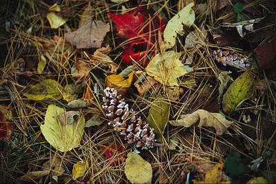 Pine Needles And Cones, And Autumn Print by Raymond Gehman