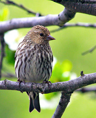 Siskin Photograph - Pine Siskin Finch Baby by Karon Melillo DeVega