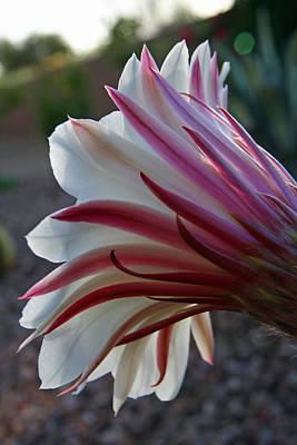 Elizabeth Rose Photograph - Pink And White Cactus Blossom by Elizabeth Rose