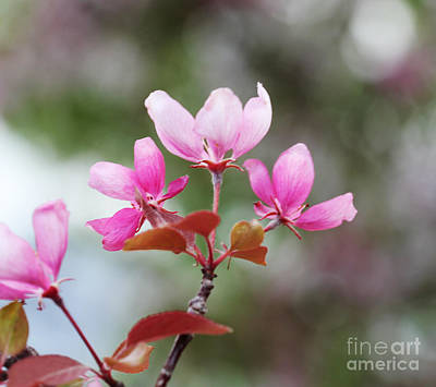 Pink Apple Blossom 2 Print by Donna Munro