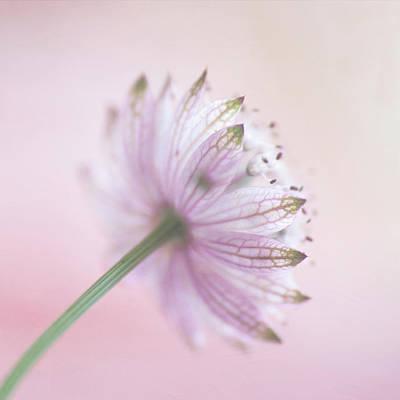 Astrantia Photograph - Pink Astrantia by Jill Ferry