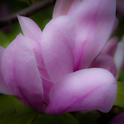 Pink Blossoms Print by David Patterson