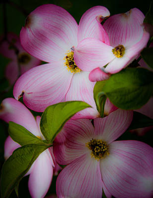 Dogwood Photograph - Pink Dogwood Blossoms by David Patterson