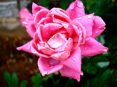 Pink Double Knockout Rose Print by David G Paul
