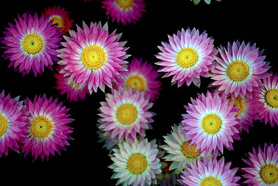 Floral Photograph - Pink Flowers At Dawn by Sumit Mehndiratta