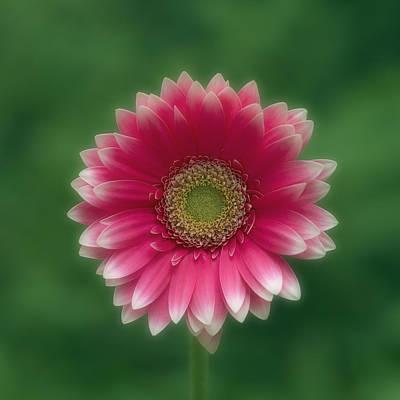 Gerber Daisy Photograph - Pink Gerber Daisy by Darwin Wiggett
