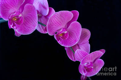 Pink Orchid Ll Print by Dana Kern
