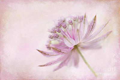 Astrantia Photograph - Pink Palette by Jacky Parker