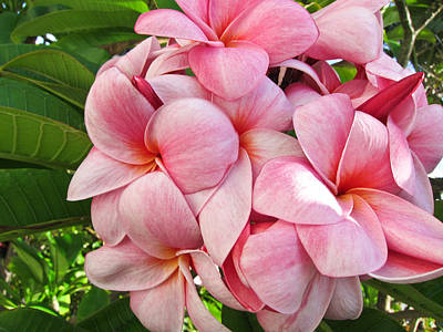 Pink Flower Photograph - Pink Plumerias by Shane Kelly