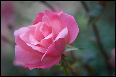 Pink Rose Print by Kelly Rader