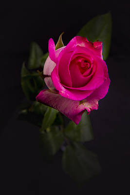 Photograph - Pink Rose by Stephen EIS