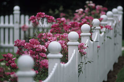 Pink Roses Growing Along A Wooden Fence Print by Michael Melford