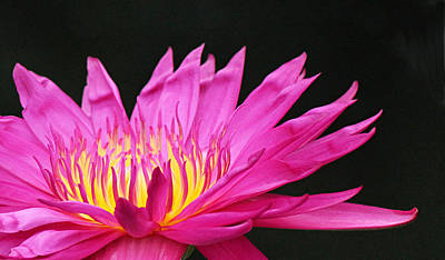 Photograph - Pink Water Lily by Becky Lodes