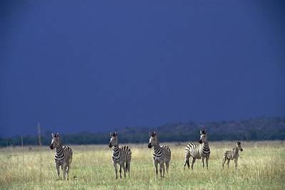 Plains Zebra Equus Burchelli In Chobe Print by Beverly Joubert