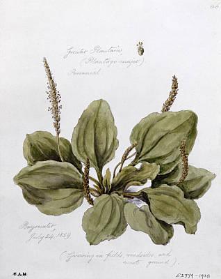 Plantain Print by WJ Linton