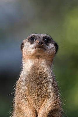 Meerkat Digital Art - Please Sir Can I Have Some More by Julie L Hoddinott