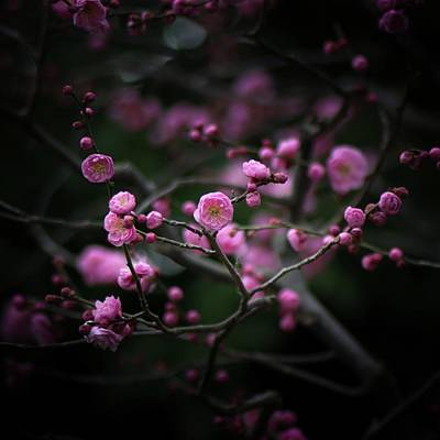 Plum Blossoms Print by I love Photo and Apple.