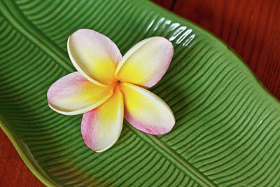 Ceramics Photograph - Plumeria Flower On Ceramic Leaf by Laszlo Podor Photography