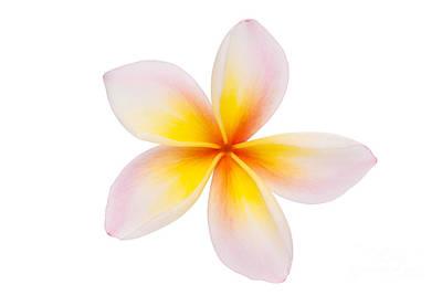 Plumeria Or Leelawadee Original by Atiketta Sangasaeng