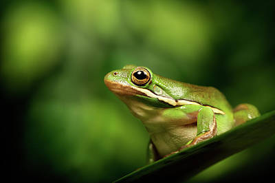 Tree Frog Photograph - Poised by MarkBridger