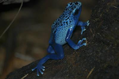 Salamanders Digital Art - Poisonous Blue Frog 01 by Thomas Woolworth