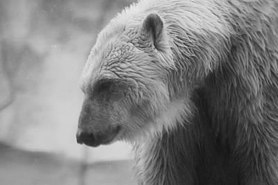 Polar Bear 7 Print by Scott Hovind