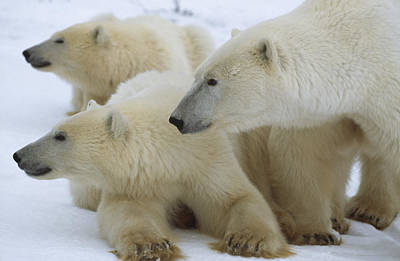 Polar Bear And Two Large Cubs Sniffing Print by Norbert Rosing