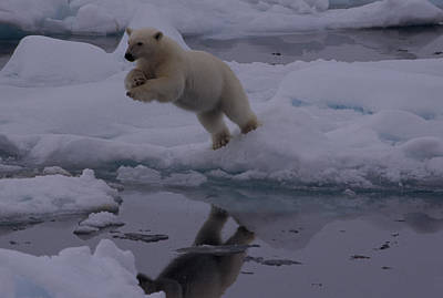 Polar Bear Leaping Over A Gap In Arctic Print by Norbert Rosing