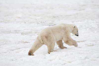 Polar Bear Ursus Maritimus On The Move Print by Richard Wear