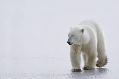 Polar Bear Ursus Maritimus Walking On Print by Richard Wear