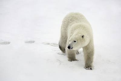 Polar Bear Walking Print by Richard Wear