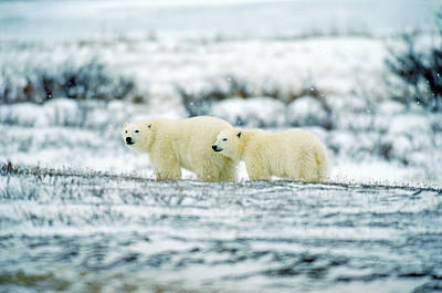Polar Bears, Churchill, Manitoba Print by Mike Grandmailson