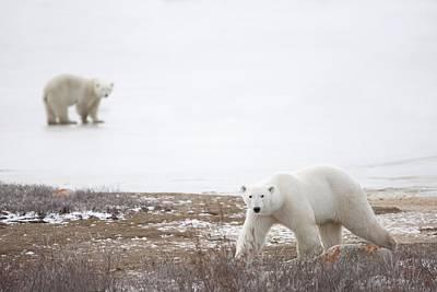 Polar Bears Ursus Maritimus Staring Print by Richard Wear