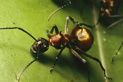 Strangler Fig Photograph - Polyrhachis Ant On A Strangler Fig Leaf by Tim Laman