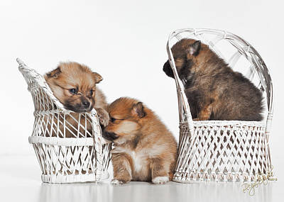 Pomeranian Photograph - Pomeranian 3 by Everet Regal
