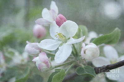 Aimelle Photograph - Pomme D Api 01 - S01bt01b by Variance Collections