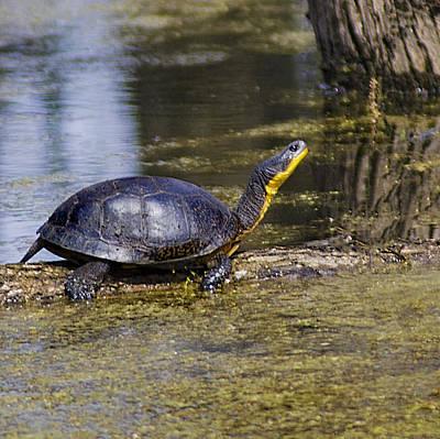 Pond Turtle Basking In The Sun Print by LeeAnn McLaneGoetz McLaneGoetzStudioLLCcom