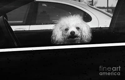 Poodle In A Car Print by Susan Isakson