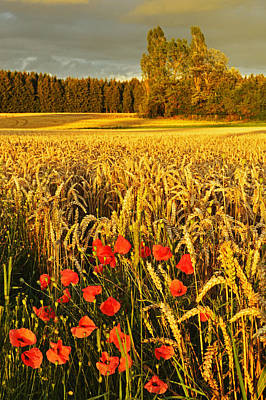 Y120817 Photograph - Poppies Growing In A Cornfield by Jochen Schlenker