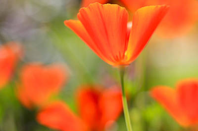 Poppies In The Wind Print by Heidi Smith