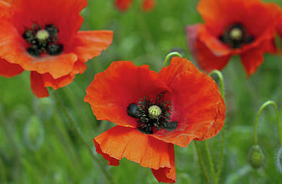Oriental Poppy Photograph - Poppies by Photo by Judepics