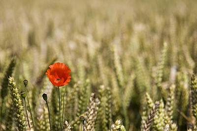 Close Focus Nature Scene Photograph - Poppy Flower In Field Of Wheat by John Short