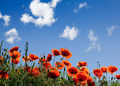 Colored Background Photograph - Poppy Flowers 05 by Nailia Schwarz